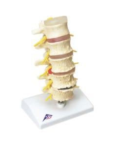 Anatomical Spine Model