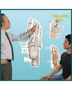 Peel & Stick Dry Erase Anatomical Charts