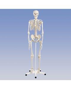 Standard Skeleton – Pelvic Mounted