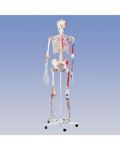 Deluxe Skeleton – Pelvic Mounted