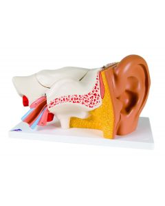 Deluxe 6-Part Anatomical Human Ear Model