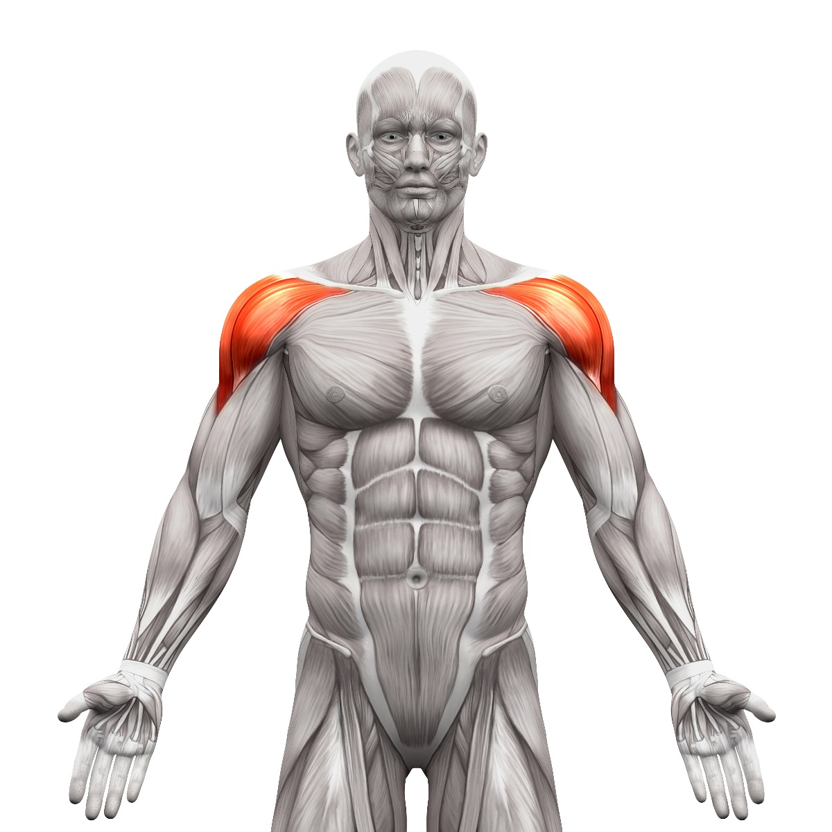 Front anatomy view of shoulder muscles, highlighted in red