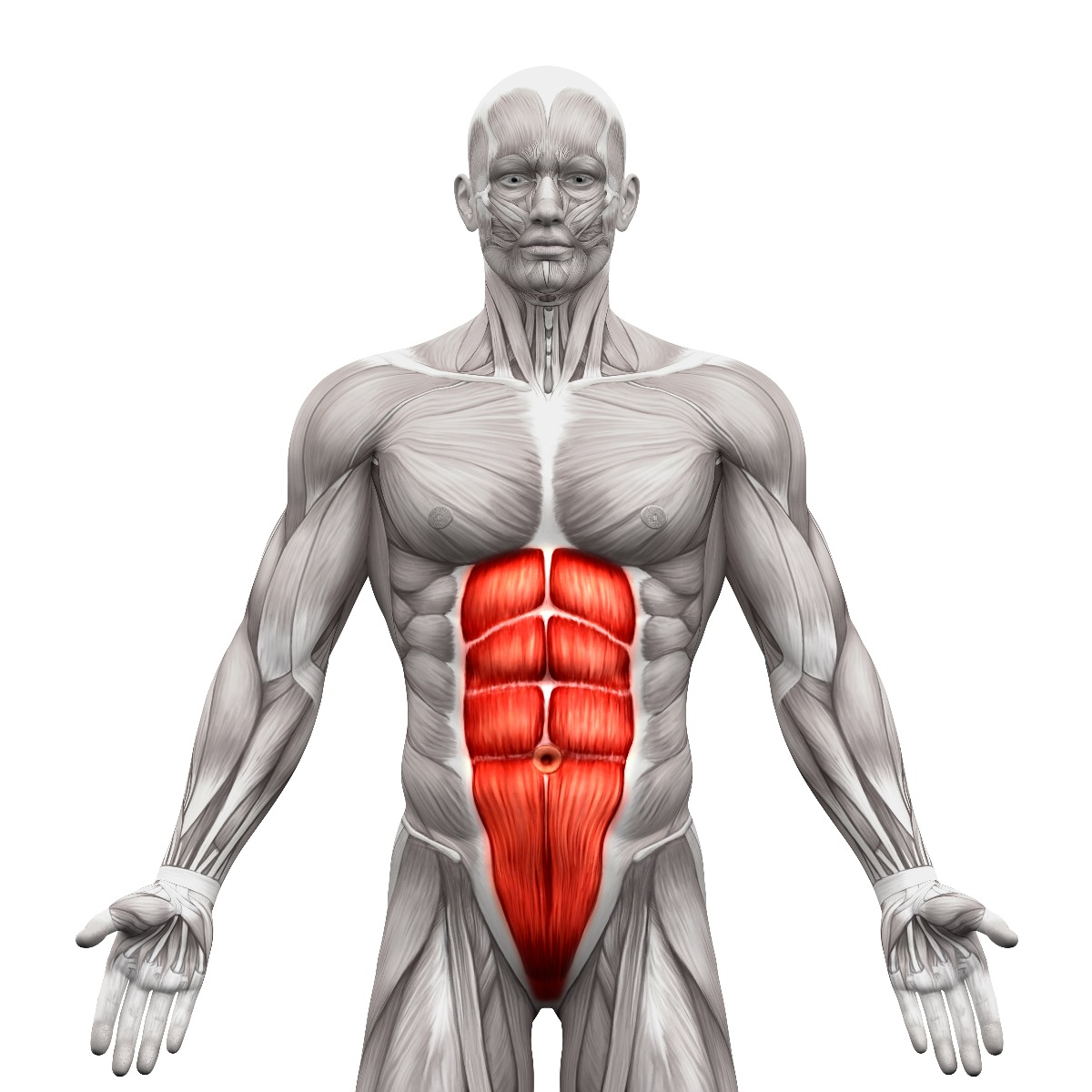 Front anatomy view of ab muscles, highlighted in red